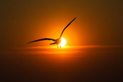 Seagulls flying at sunset Stock Photo