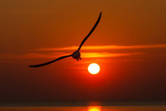 Seagulls flying at sunset Royalty Free Stock Images