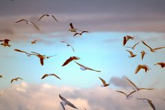 Seagulls flying at sunset. Opportunities and beauty of flight. Many floating and gliding seagulls. Black-headed gull (Larus ridibundus). Sky before sunset Stock Image