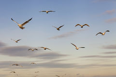 Seagulls flying at sunset. Royalty Free Stock Photo