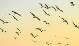 Seagulls flying at sunset Royalty Free Stock Photo