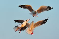 Seagulls are flying to eat food during sunset Royalty Free Stock Images