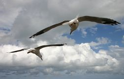 Seagulls Flying Together. Two seagulls flying in cloudy sky Royalty Free Stock Photo