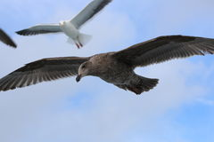 Seagulls flying. Two seagulls in flight looking for food Stock Photos