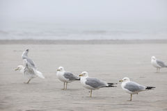Seagulls on foggy beach Royalty Free Stock Image