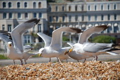 Seagulls on Folkestone beach Stock Photos