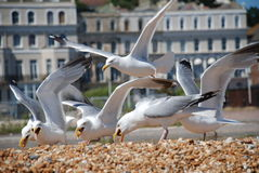 Seagulls on Folkestone beach Stock Photography