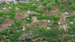 Seagulls. Footage of seagulls in a natural bird resrve on the Brittany Coast, near Cap Frehel, in France stock footage
