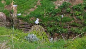 Seagulls. Footage of seagulls in a natural bird resrve on the Brittany Coast, near Cap Frehel, in France stock video