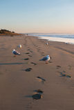 Seagulls and  footprints on deserted beach Royalty Free Stock Photo
