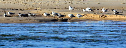 Seagulls foraging along the coastal sand beach Stock Image
