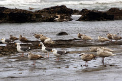 Seagulls foraging along the coastal sand beach Royalty Free Stock Photo