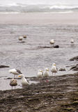 Seagulls foraging along the coastal sand beach Stock Photography