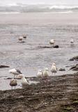 Seagulls foraging along the coastal sand beach Stock Photography