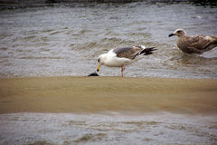 Seagulls foraging along the coastal sand beach Stock Images
