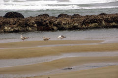 Seagulls foraging along the coastal sand beach Royalty Free Stock Photos