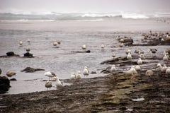 Seagulls foraging along the coastal sand beach Stock Photos