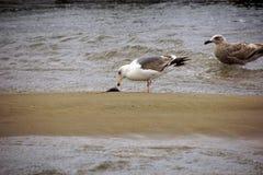 Seagulls foraging along the coastal sand beach Stock Photo