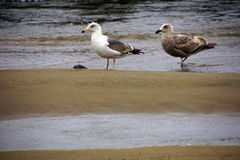 Seagulls foraging along the coastal sand beach Royalty Free Stock Image