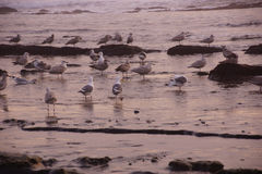 Seagulls foraging on the beach Stock Photos