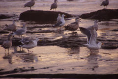 Seagulls foraging on the beach Royalty Free Stock Photography