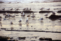 Seagulls foraging on the beach Stock Photo