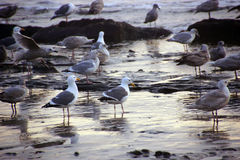 Seagulls foraging on the beach Royalty Free Stock Images