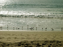 Seagulls Frolicking by the Beach, Santa Monica Beach, California, USA. Seagulls frolicking by the ocean at Santa Monica Beach, California, USA Stock Image