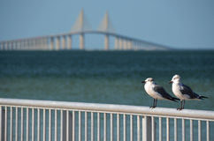 Seagulls in front of Skyway Bridge Stock Images