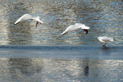 Seagulls On Frozen Lake Royalty Free Stock Images
