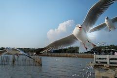 The seagulls frying. At The Bang Pu Recreation Center in Samutprakarn, Thailand Stock Photo