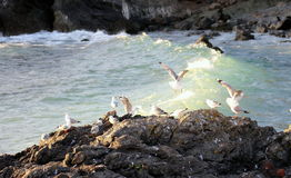 Seagulls gather on Rocky Coast Royalty Free Stock Images