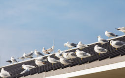Seagulls Gathered on Pier Roof Royalty Free Stock Image