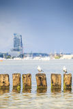 Seagulls in Gdynia, The Baltic Sea Stock Images