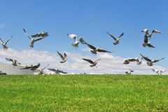 Seagulls on the grass to fly up the flight. Stock Photos