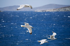 Seagulls in Greece. Seagulls flying on the Coastline of Greece Royalty Free Stock Photography