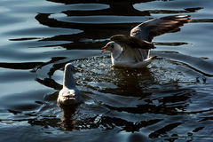 Seagulls in Green lake parks Stock Photography