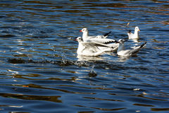 Seagulls in Green lake parks Stock Photos