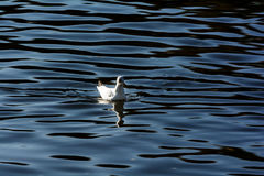 Seagulls in Green lake parks Royalty Free Stock Photo