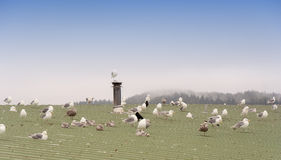 Seagulls on green Roof Royalty Free Stock Photography