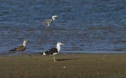 Seagulls and grey heron Royalty Free Stock Photo