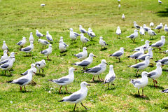 Seagulls on the ground Royalty Free Stock Photo