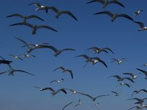 Seagulls in a Group Stock Images