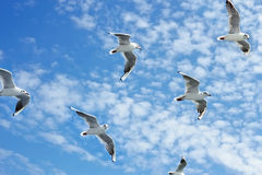 Seagulls group in flight Stock Photo