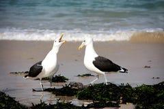 Seagulls. Stock Image