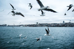 Seagulls. Gulls or seagulls are seabirds of the family Laridae in the sub-order Lari Royalty Free Stock Image