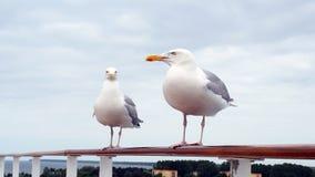 Seagulls on handrail stock footage