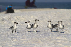 Seagulls having a talk. Seagull walking on the white sand beach Stock Photo