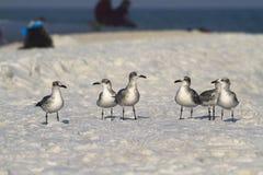 Seagulls having a talk. Seagull walking on the white sand beach stock photo