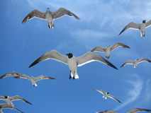 Seagulls at Higgs Beach in Key West. Waiting for a handout Stock Images